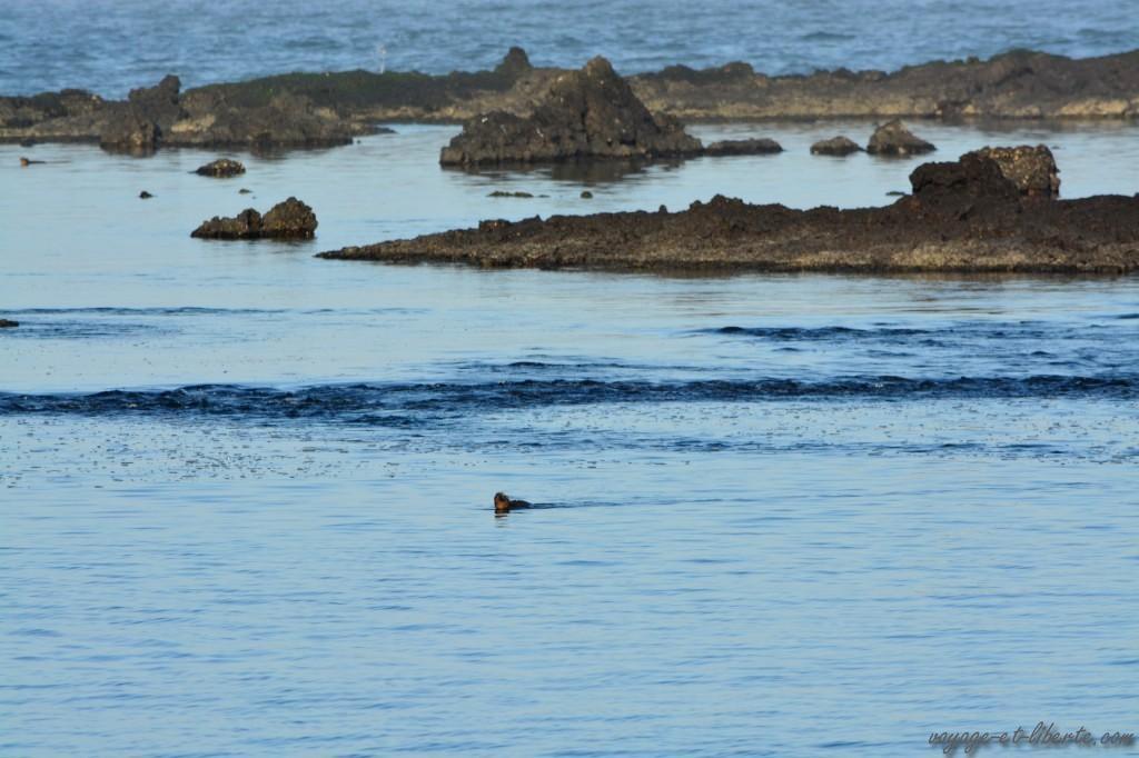 Un iguane nage à la surface de l'eau